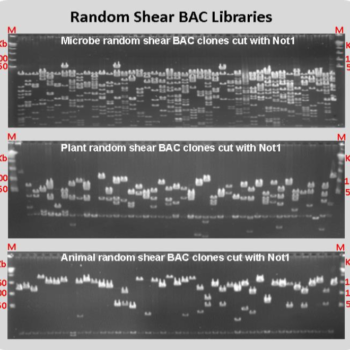 Random Shear BAC Library