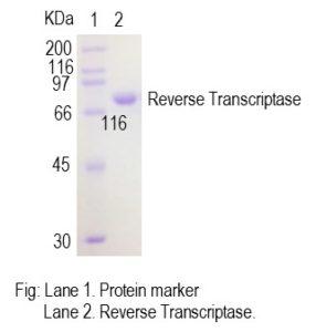 reverse-transcriptase-pic1