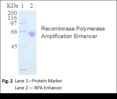 Recombinase Polymerase Amplification Enhancer