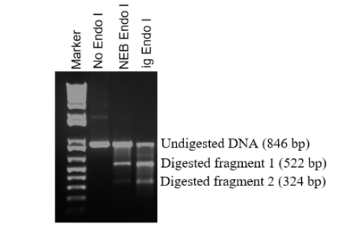 IG T7 Endonuclase vs NEB T7 Endonuclease