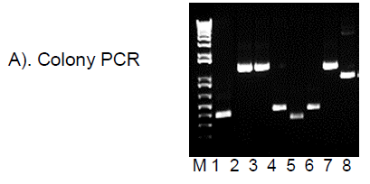 High Fidelity DNA Polymerase Master Mix Colony PCR